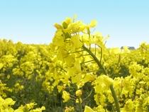 【菜の花】滝川は菜の花で有名。美しい黄色の花を春に楽しむことができます。