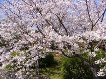 春の温かみを感じる満開の桜(平草原)