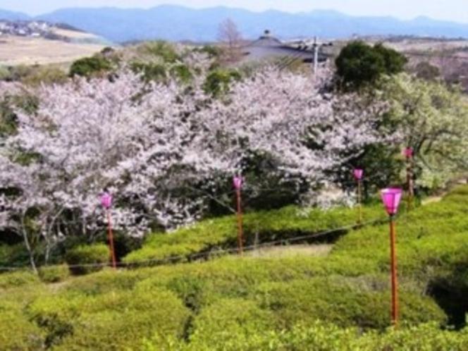 春の温かみを感じる満開の桜(平草原見下ろし)