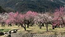 約600年前に植えられた古木を含め、白加賀、越生野梅、紅梅など約 1000本の梅の木織りなす越林梅林