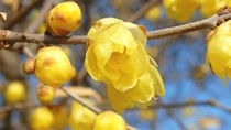 梅の花よりも早く咲かせる宝登山のロウバイ【1月下旬頃から】