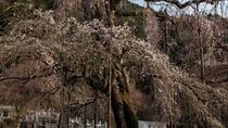 秩父紅しだれ桜など大小30本、見事なしだれ桜が咲き誇ります。清雲寺