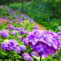 *東京ドイツ村/6月の見所は梅雨の紫陽花3万株です