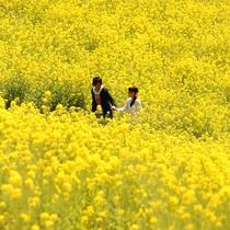 *マザー牧場/菜の花畑
