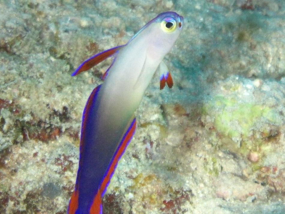 水中生物のハゼ