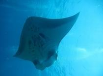 石垣島の水中生物マンタ