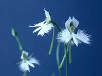 サギソウ・姫路市の花
