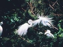 シラサギ・姫路市鳥
