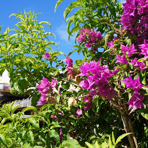 八重山に咲く花