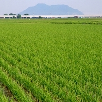 【お米】田んぼ 遠くに見えるのが新幹線の高架と函館山