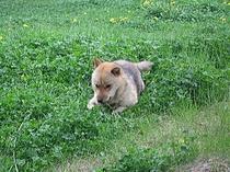 北海道犬のアオ