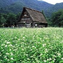 白川郷の蕎麦畑