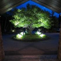 夏の夜 涼しげに輝く楓