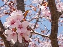 施設周辺の桜