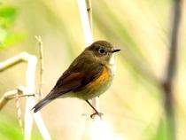舳倉島の鳥1