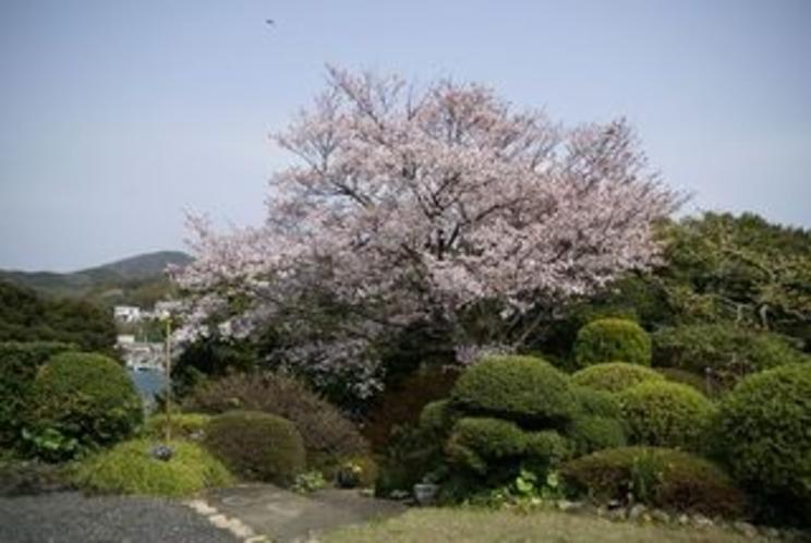 満開の桜横位置