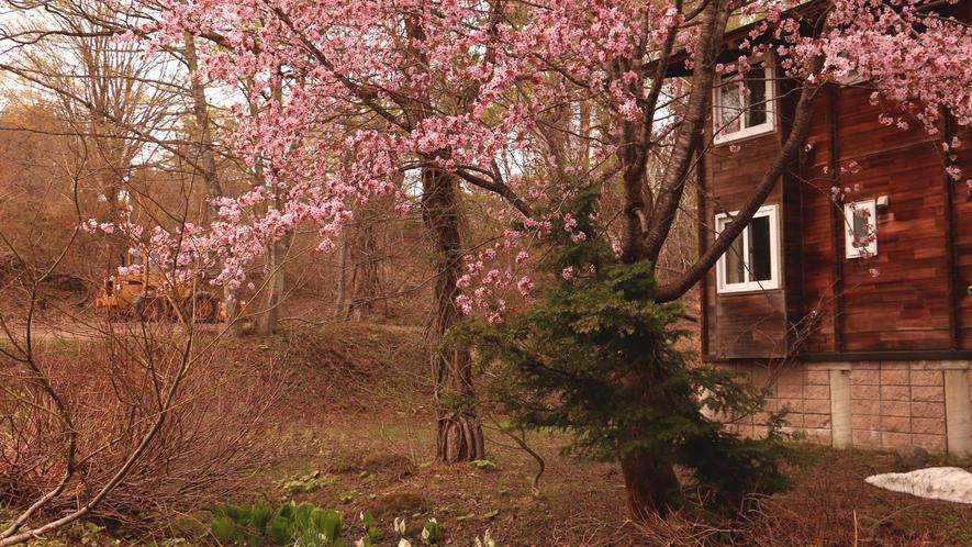 オオヤマザクラの見頃は4月下旬から5月上旬です♪