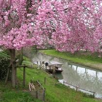 ■大聖寺川の桜