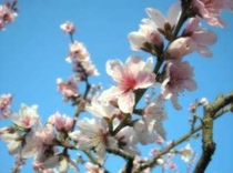 桃の産地なので春には桃の花がとても綺麗♪