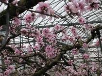 ブランド品種、あら川の桃の花