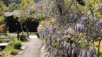 紫尾庵の名にふさわしく紫の花びらが咲き誇る『藤』は晩春のお愉しみです。