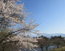 桜と鹿の池