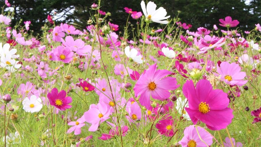 *みさき台公園/秋にはかわいらしいコスモスのお花畑が楽しめます。