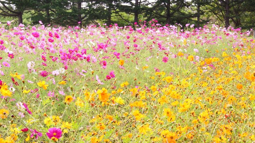 *みさき台公園/秋のコスモス。美しい景色を眺めてのんびり過ごそう。