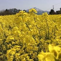 鰺ヶ沢菜の花畑
