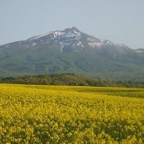 津軽富士岩木山と菜の花畑