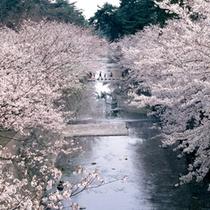 春は夙川の桜が見頃です♪桜の名所として沢山の人でにぎわいます。