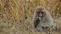 【吾妻の猿】時折、吾妻山に生息する野生の猿を見ることができます。