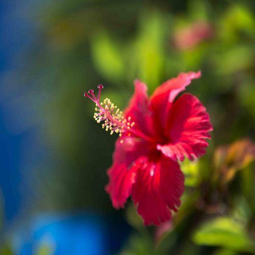 沖縄の綺麗なお花 ハイビスカス
