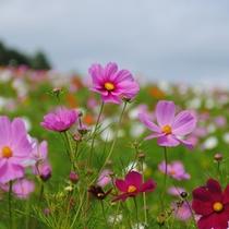 *【コスモス】太陽の丘えんがる公園コスモス園。1000万本のコスモスが咲く、日本最大級のコスモス園。