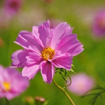 *【コスモス】太陽の丘コスモスフェスタは9/12・9/13に開催。