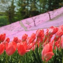*【芝桜】芝桜の傍らに咲くチューリップ。美しい色合いを演出しています。