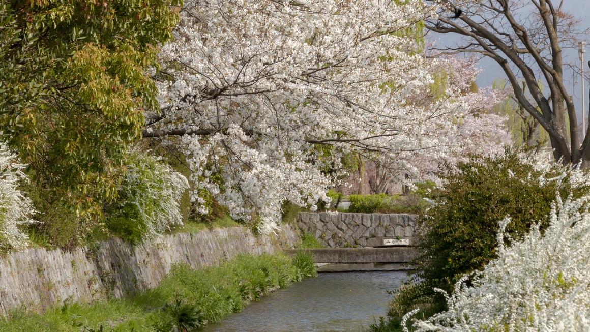 春爛漫、みそそぎ川縁の桜、雪柳