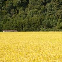 *【秋の風景(一例)】稲穂の景色が秋の到来を感じさせます。