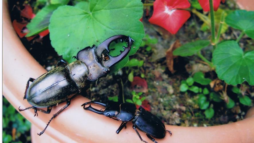 *季節の光景(夏)/夏休みは当館周辺でカブトムシやクワガタ採集!