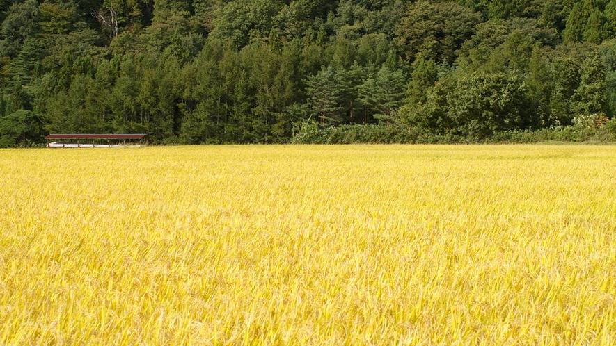 *季節の光景(秋)/稲穂の景色が秋の到来を感じさせます