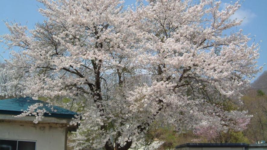 *季節の光景(春)/桜