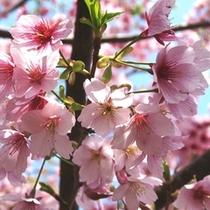 日本一早く咲く城ヶ崎さくら