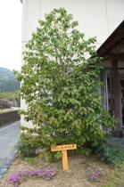 珍しいハンカチの木。