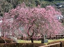ふれあい公園はしだれ梅で春を迎えます。