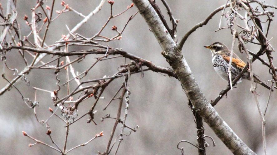 支笏洞爺国立公園の森 ツグミ
