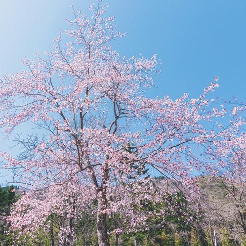【庭園】春 満開の桜