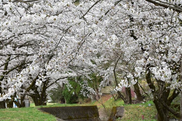 古城荘前の桜並木