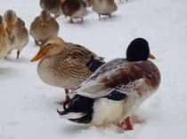 冬_正直村の鴨たち。