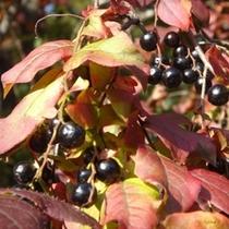 秋の収穫祭(ジャムのもと♪)