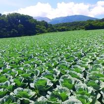 嬬恋村といえば雄大な浅間山とキャベツ畑!